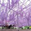สวนดอกไม้ Ashikaga ในจังหวัดโทชิกิ